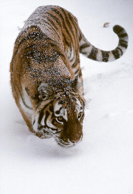 Siberian tiger photograph by  Dennis DeMello © WCS